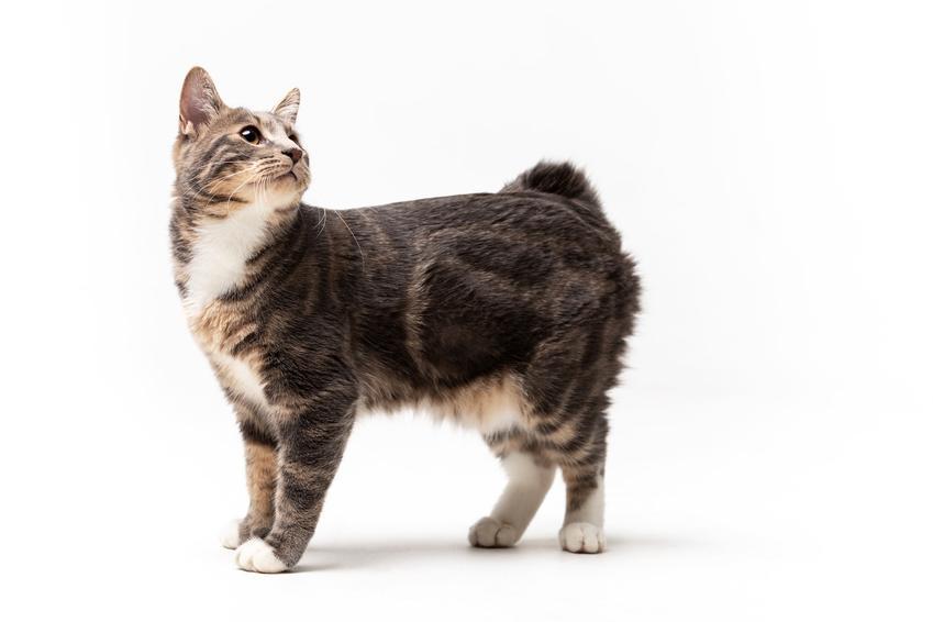 Kot kurylski bobtail na białym tle, a także informacje o rasie, usposobienie i hodowla