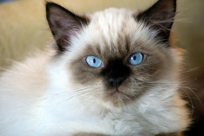 Kot himalajski na zdjęciu portretowym, a także informacje o rasie, usposobienie i hodowla