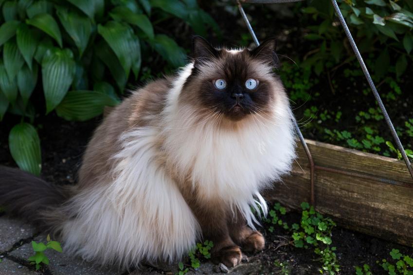 Kot himalajski siedzący w ogrodzie, a także informacje, charakter, hodowla i cena