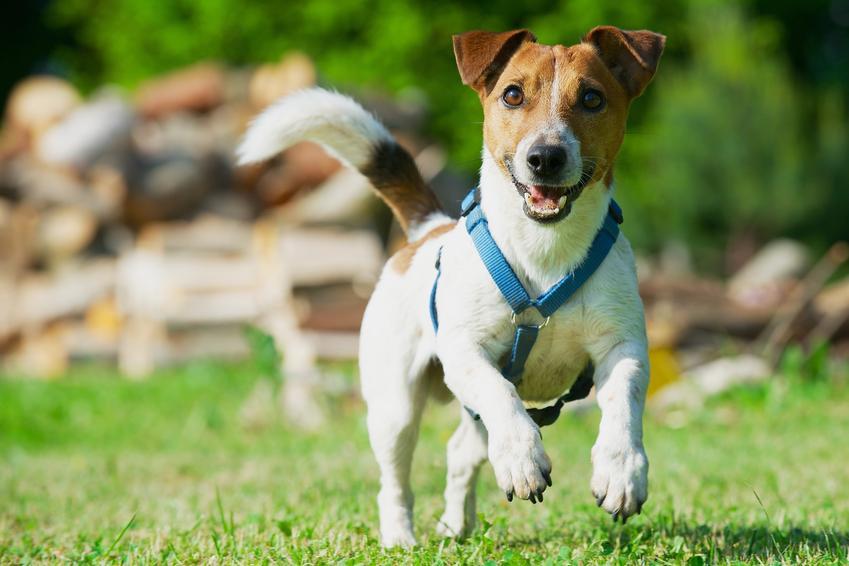 Pies biegający po trawie podczas spaceru, a także polecane szelki dla psa i ich cena
