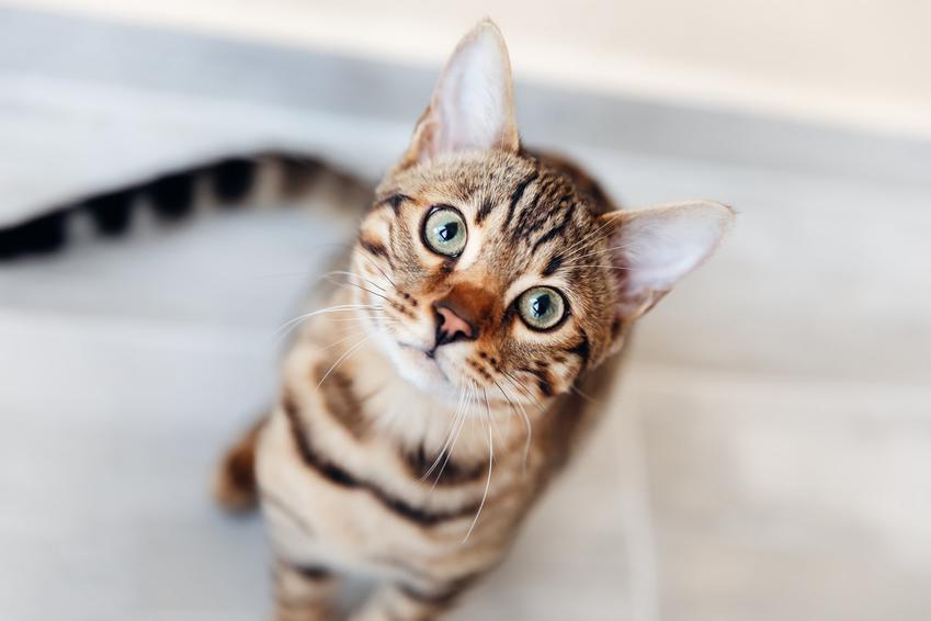 Mały kociak patrzący w obiektyw, a także adopcja kota, procedura i koty do adopcji