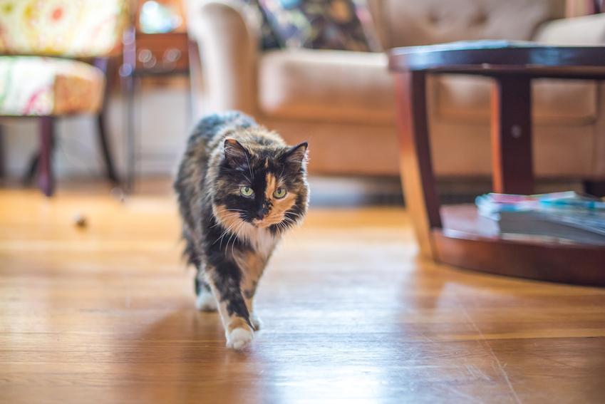 Kot szylkretowy na podłodze w salonie, a także informacje, charakter, hodowla i cena