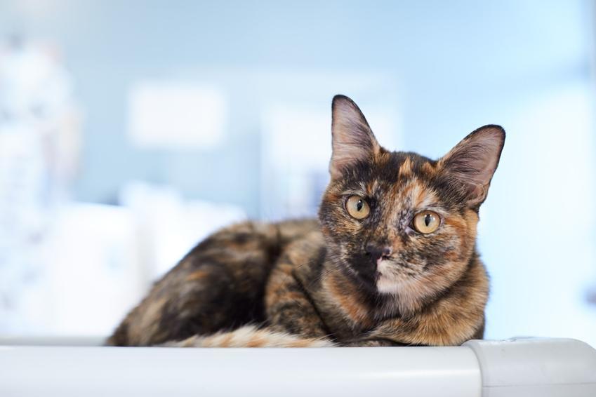 Kot szylkretowy na zdjęciu portretowym, a także informacje o rasie, usposobienie i hodowla