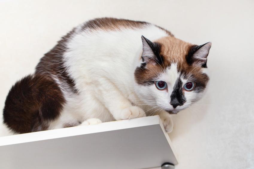 Kot rasy snowshoe na półce ściennej, a także informacje o rasie, usposobienie i hodowla