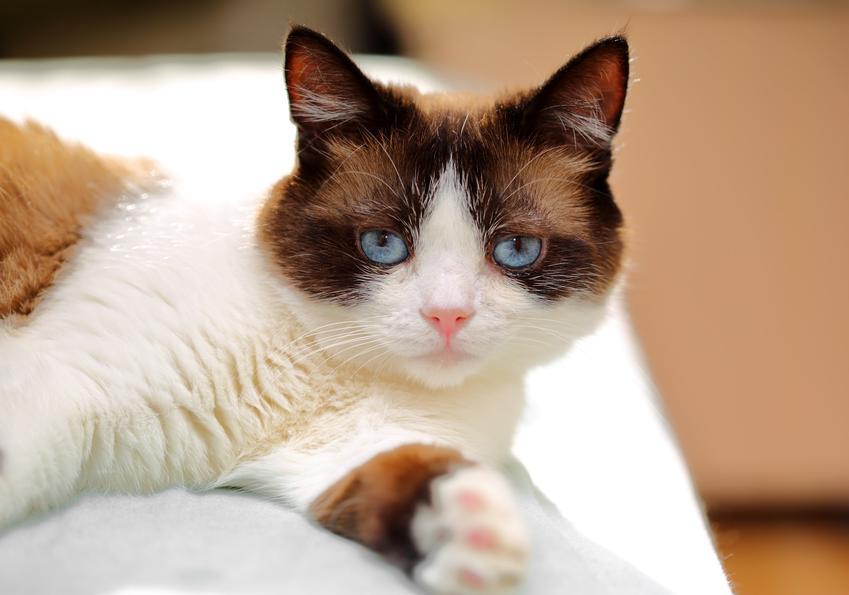 Kot rasy snowshoe na sofie w domu, a także informacje, charakter, hodowla i cena