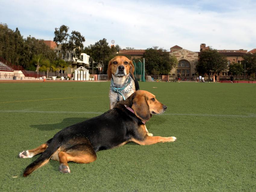 Pies rasy gończy niemiecki na tle zieleni, a także jego opis, charakter, usposobienie i cena