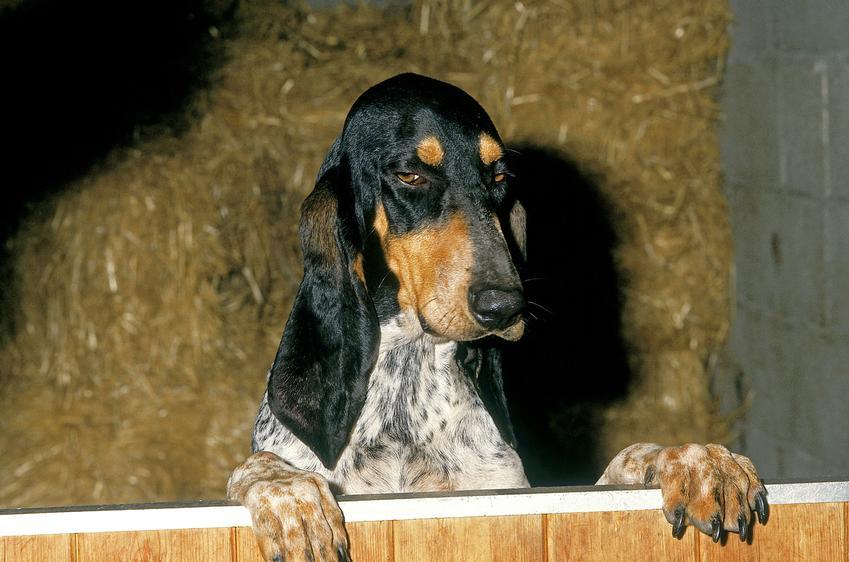 Pies rasy duży gończy gaskoński w budynku gospodarczym, a także jego charakter i hodowla