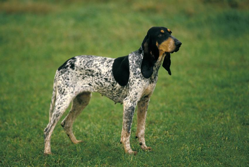 Pies rasy duży gończy gaskoński na tle zieleni, a także jego opis, charakter, usposobienie i cena