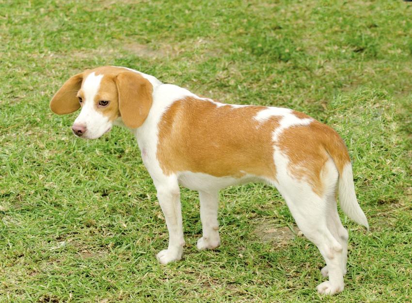 Pies rasy gończy chorwacki na tle zieleni, a także jego opis, charakter, usposobienie i cena