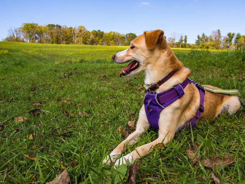 Duży pies leżący na trawie w fioletowych szelkach bezuciskowych oraz polecane szelki bezuciskowe dla psa