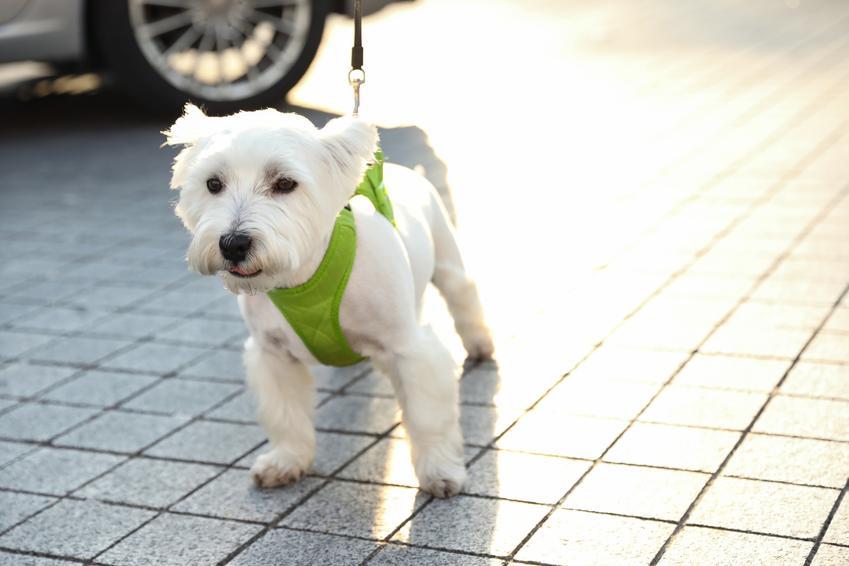 Biały bies w zielonych szelkach bezuciskowych, czyli jak wybrać szelki bezuciskowe dla psa
