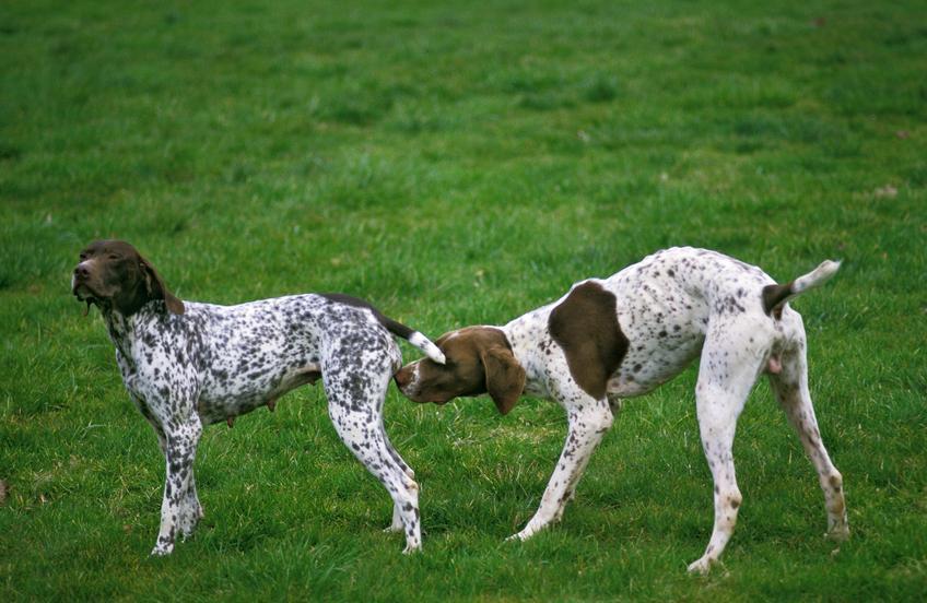 Dwa psy rasy wyżeł francuski na tle zieleni, a także jego opis, charakter, usposobienie i cena