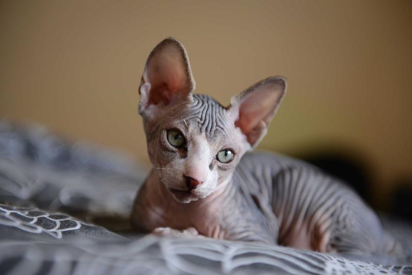 Kot Sfinks leżący na łóżku, a także inne rasy kotów do mieszkania w bloku, ich opisy, usposobienie i wygląd