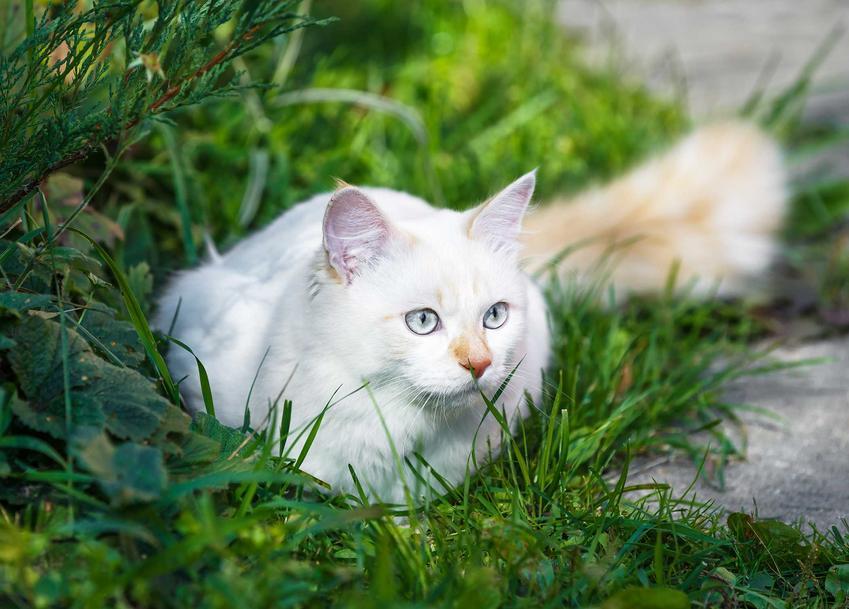 Kot Turecki Van o białej sierści, a także inne rasy do domu jednorodzinnego, ich opisy i usposobienie