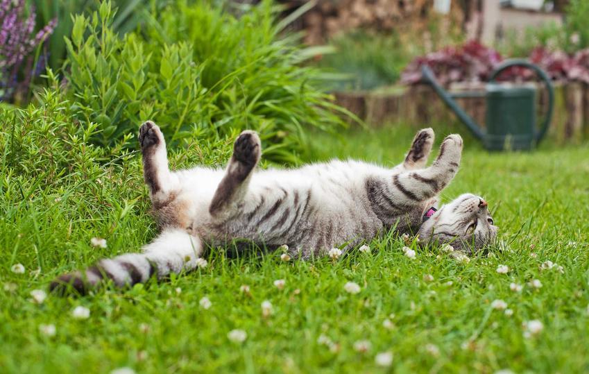 Kot mieszkający w domu jednorodzinnym na trawie w ogórdku, a także opisy ras kotów do domu jednorodzinnego