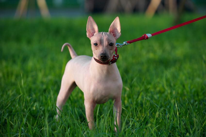 Pies bez sierści na smyczy podczas spaceru oraz rasy psów bez sierści i psy z włosami