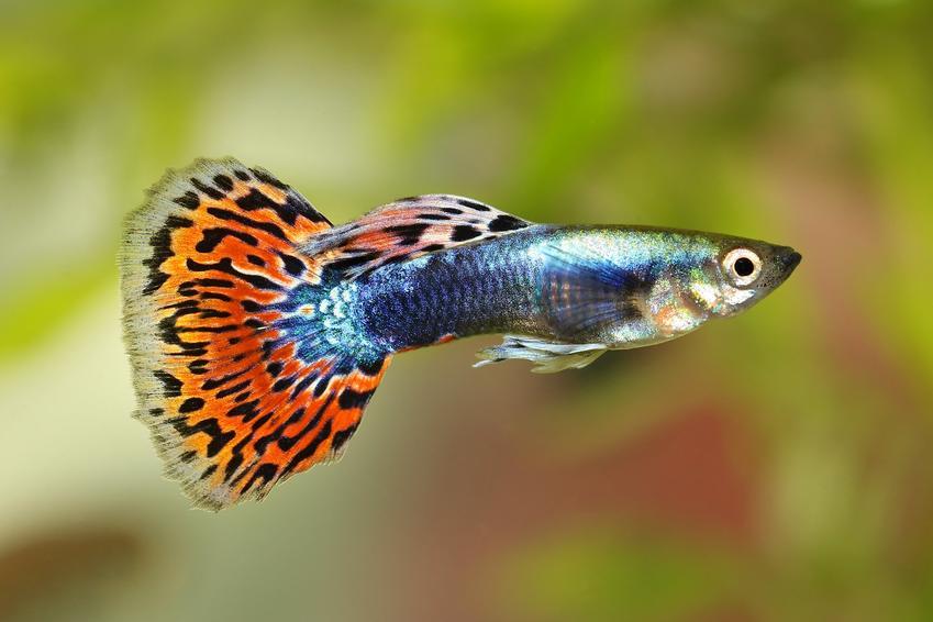 Rybki akwariowe gupiki oraz porady jakie rybki do akwarium dla początkujących