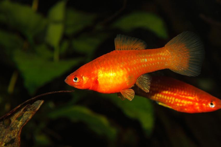 Mieczyki w akwarium, a także polecane rybki akwariowe na początek