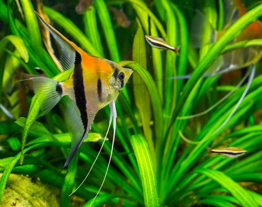 Rybka do akwarium skalar, a także polecane rybki akwariowe na początek