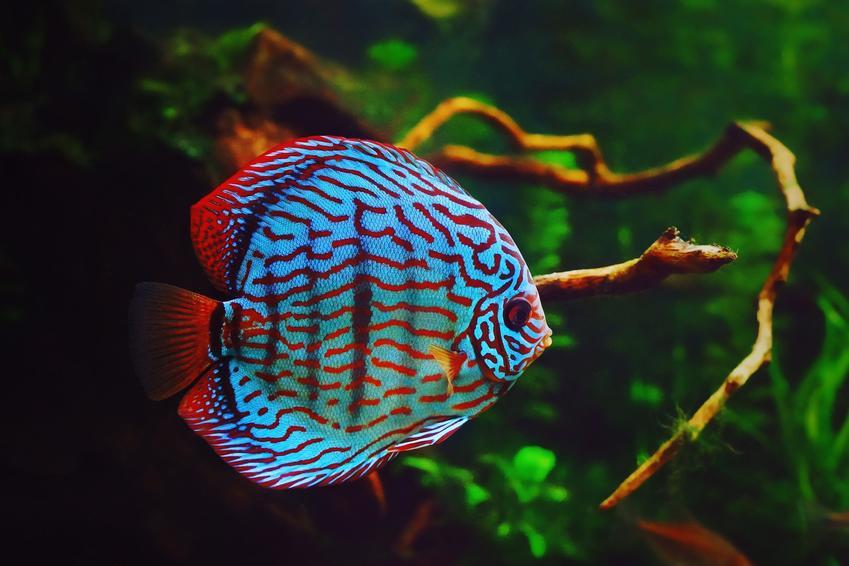 Rybka w akwarium symphysodon, a także polecane rybki akwariowe na początek