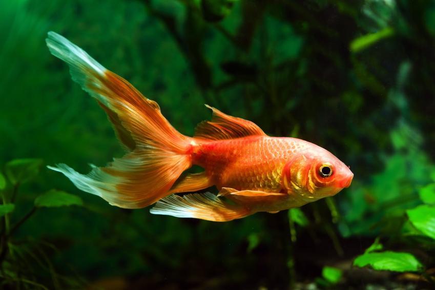 Rybki akwariowe welonki, a także porady, jakie rybki do akwarium dla początkujących