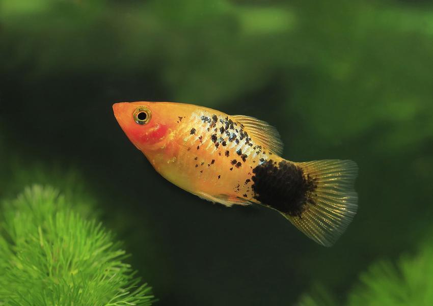 Rybki akwariowe zmienniaki, a także porady, jakie rybki do akwarium dla początkujących