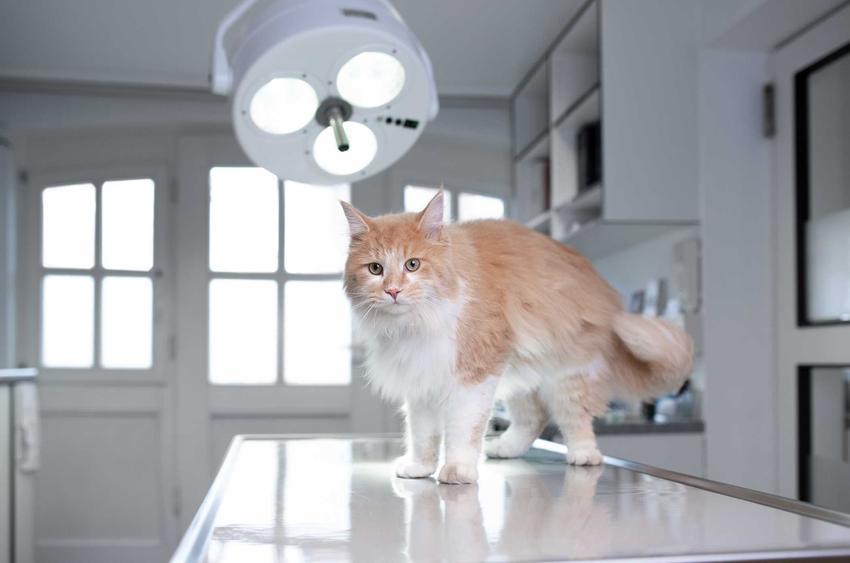 Dysplazja stawu łokciowego u kota badanego na stole w gabinecie weterynarza, a także leczenie, diagnoza i objawy choroby
