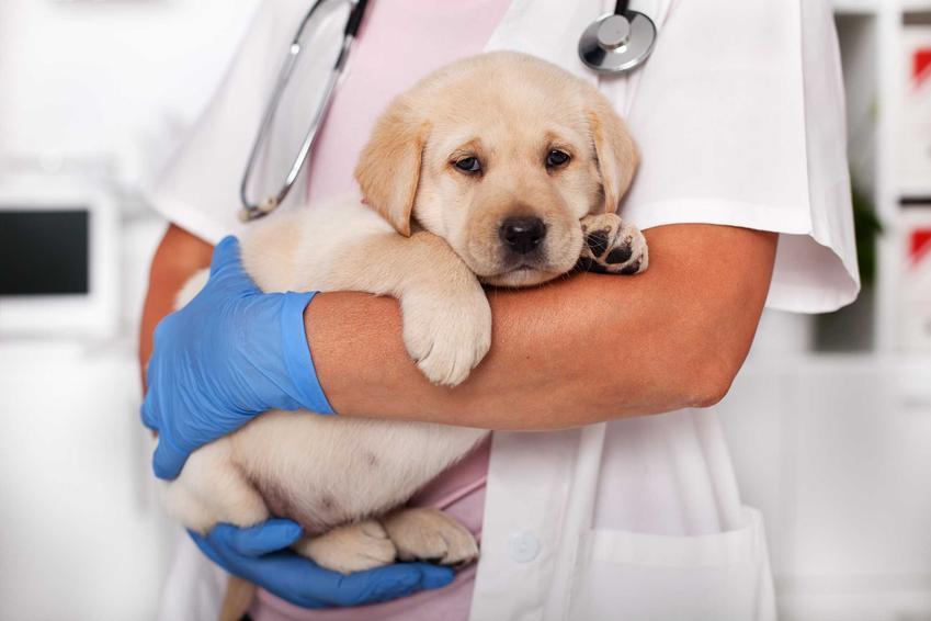 Mały pies na rękach u weterynarza cierpiący na zapalenie kości, a także diagnoza, leczenie i zapobieganie