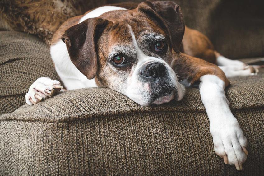 Starszy pies leżący na kanapie cierpiący z powody osteoartozy, a także leczenie i powikłania choroby
