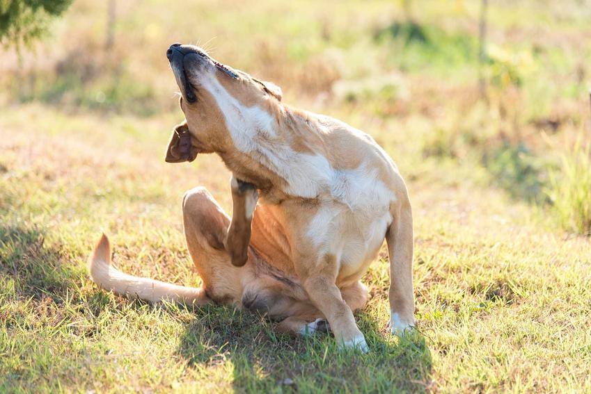 Drapiący się pies zmagający się z chorobami skóry, a także najczęstsze schorzenia oraz przyczyny i diagnoza