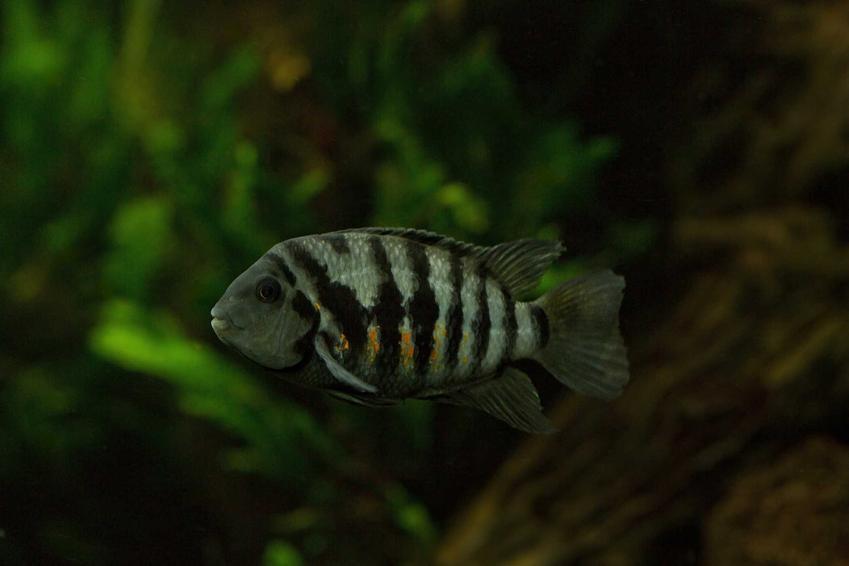 Ryba pielęgnica zebra w ciemnym akwarium, a także rodzaje oświetlenia do różnego rodzaju akwariów