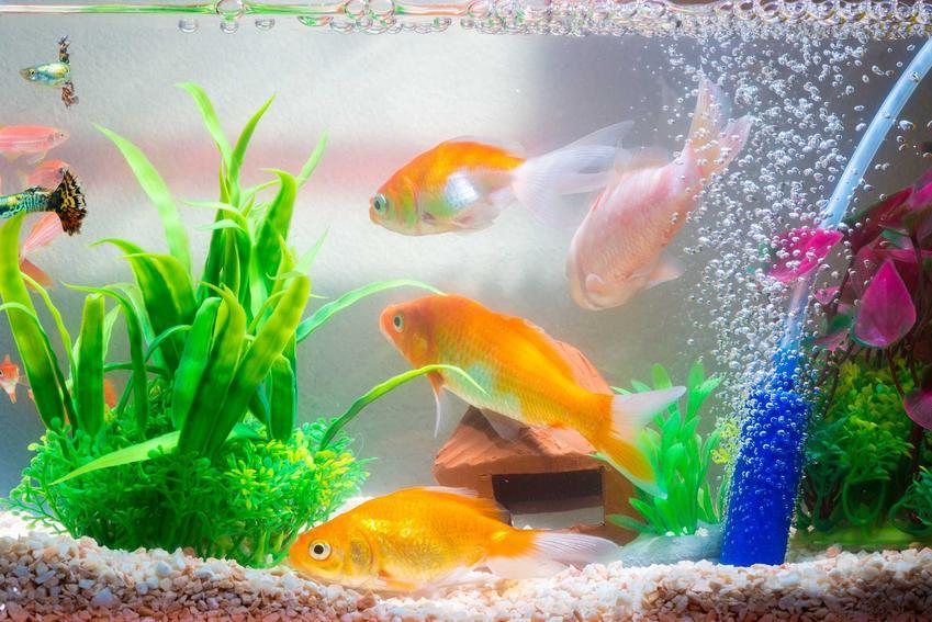 Napowietrzach w kawarium ze złotymi rybkami, a także napowietrzanie wody, porady, rodzaje, dopasowanie do akwarium