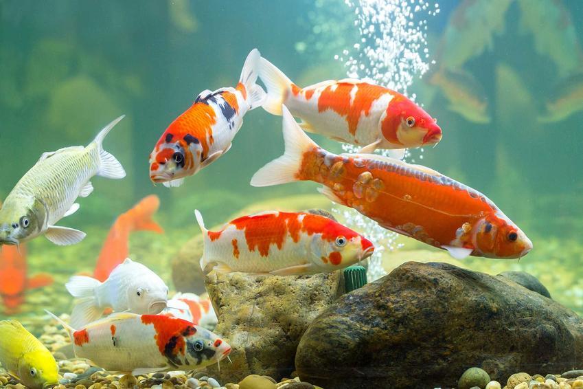 Napowietrzanie wody w akwarium z karpiami czerwonymi, a także porady, dopasowanie, rodzaje napowietrzaczy i montaż