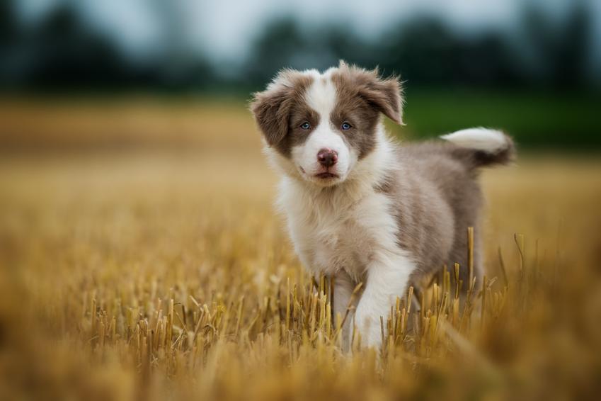 Piesek border collie w trawie, a także szacowana cena border collie za szczeniaka