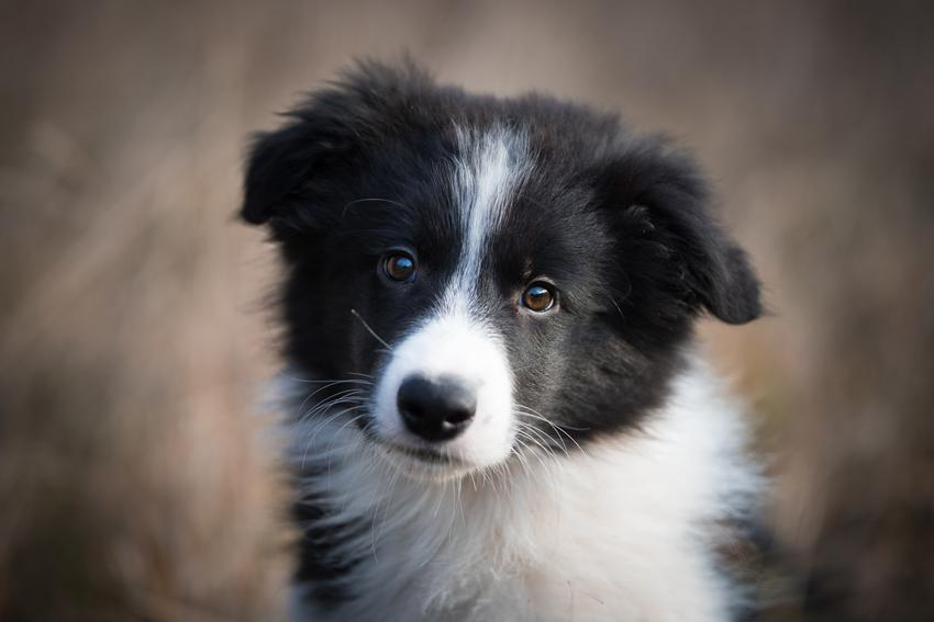 Pies rasy border collie na tle pola, a także informacje, jaka jest cena border collie