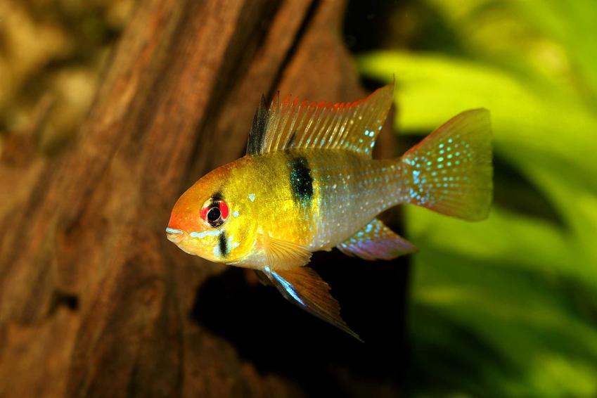 Pielęgniczka Ramireza w akwarium, a także opis ryby, wymagania, zdjęcia, pielęgnacja i karmienie