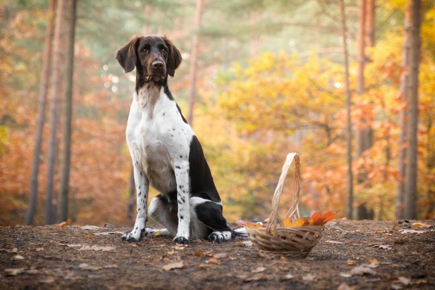 Pies rasy wyżeł miniaturka na łonie natury, a także jego charakter, hodowla i cena