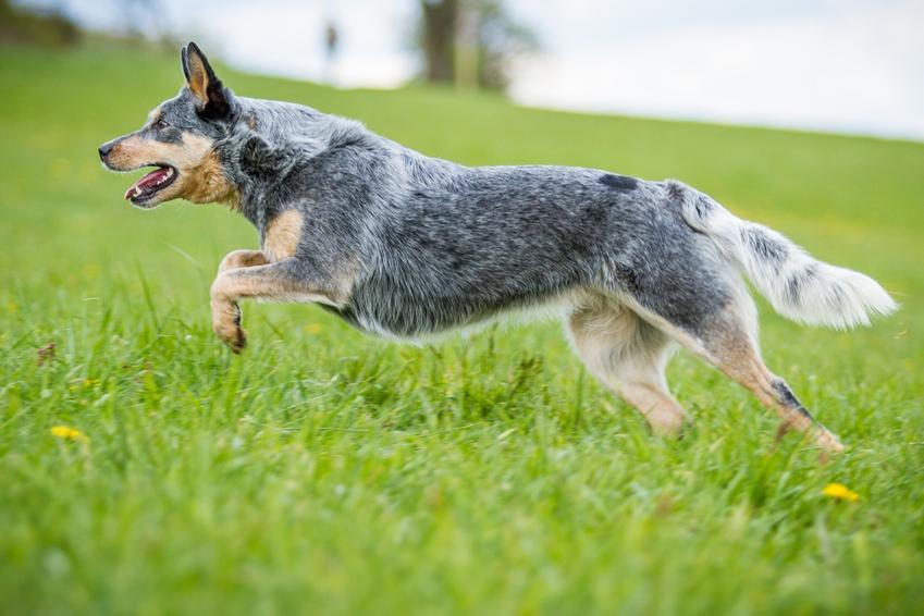 Pies rasy australian stumpy tail cattle dog na łonie natury, a także jego charakter, hodowla i cena