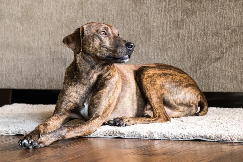 Pies rasy plott hound na dywanie w salonie, a także jego charakter, hodowla i cena
