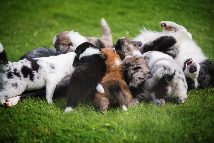 Dużo szczeniaków border collie na trawie, a także hodowle psów i hodowla border collie