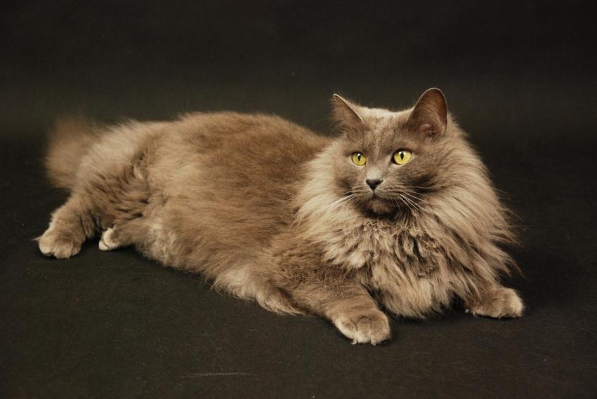 Kot brytyjski długowłosy na czarnym tle, a także cena kota brytyjskiego