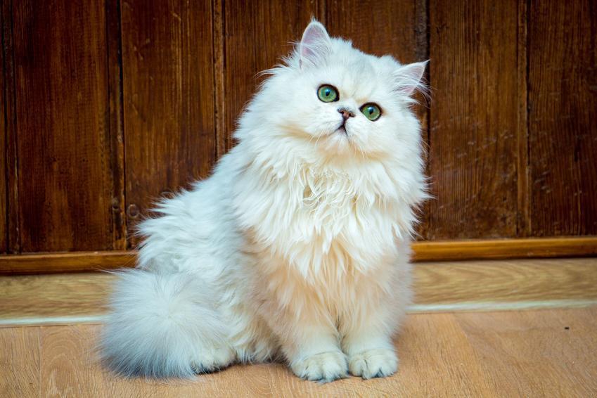 Biały kot brytyjski długowłosy siedzący na podłodze, a także jego charakter i cena