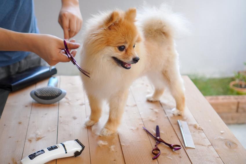 Pies podczas strzyżenia maszynką w domu, a także polecana maszynka do strzyżenia psów i cena