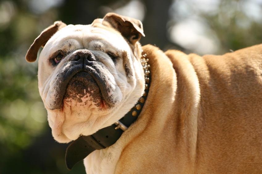 Pies w obroży z kolczatką podczas spaceru, a także kolczatka dla psa, jej zastosowanie i cena
