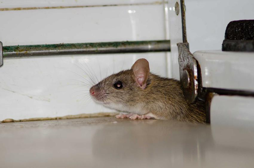 Szczur wychodzący z otworu w ścianie, a także skuteczne sposoby na szczury, środki i odstraszacze