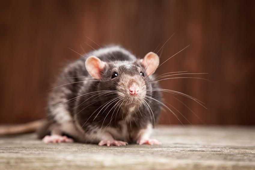 Szczur na podłodze w mieszkaniu, a także skuteczny sposób na szczury, odstraszanie, likwidacja i skuteczne środki