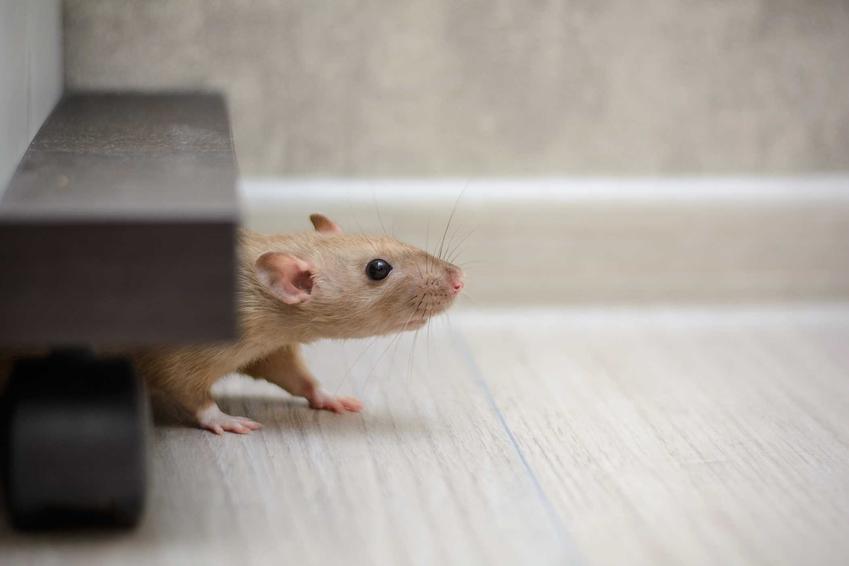 Biały szczur w mieszkaniu, a także odstraszacze na szczury, najskuteczniejsze spoosby i działanie