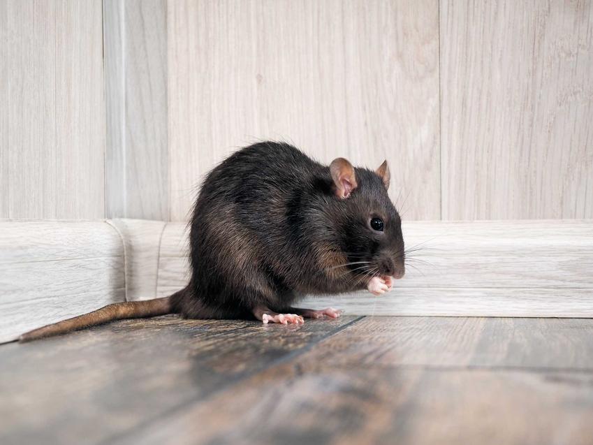 Czarny szczur siedzący w kącie, a także odstraszacz na szczury i najlepsze sposoby odstraszania