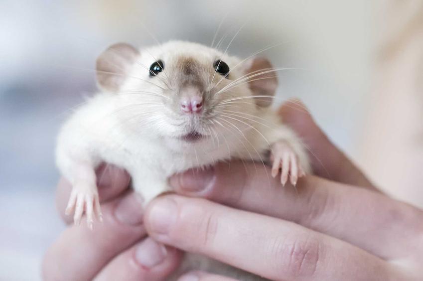 Szczur syjamski na rękach właściela, a także opis, zdjęcie, usposobienie, charakter i wymagania