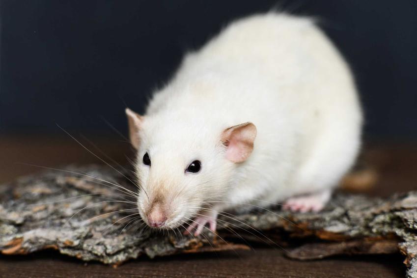 Biały szczur Husky na podłodze, a także opis, zdjecia, wymagania, charakter oraz wygląd